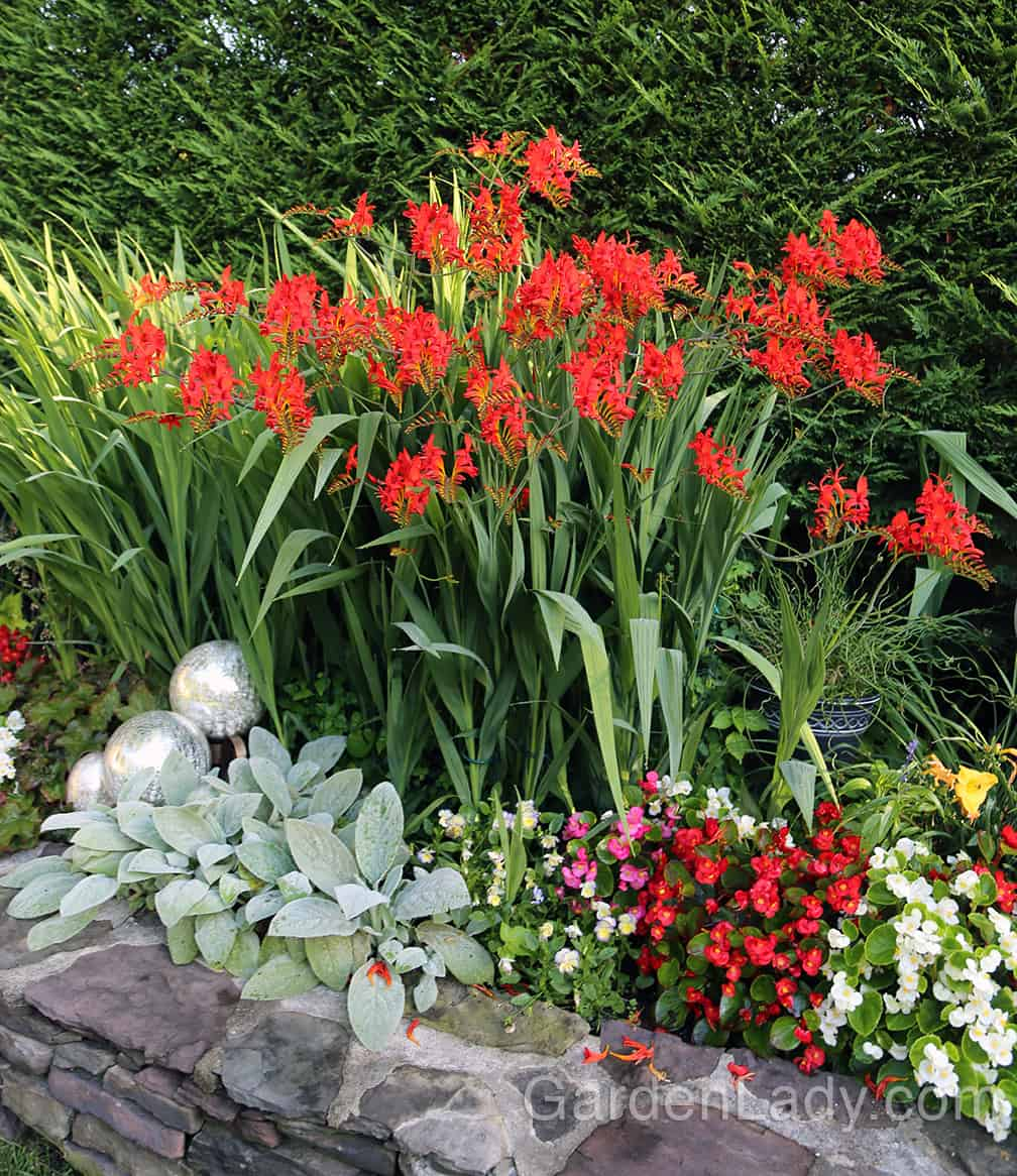 """The Crocosmia in my friend Helen's garden was attracting the hummingbirds all day when I was in her garden. Of course as soon as I'd raise my camera, they'd zip off. """"No photos, please!"""""""