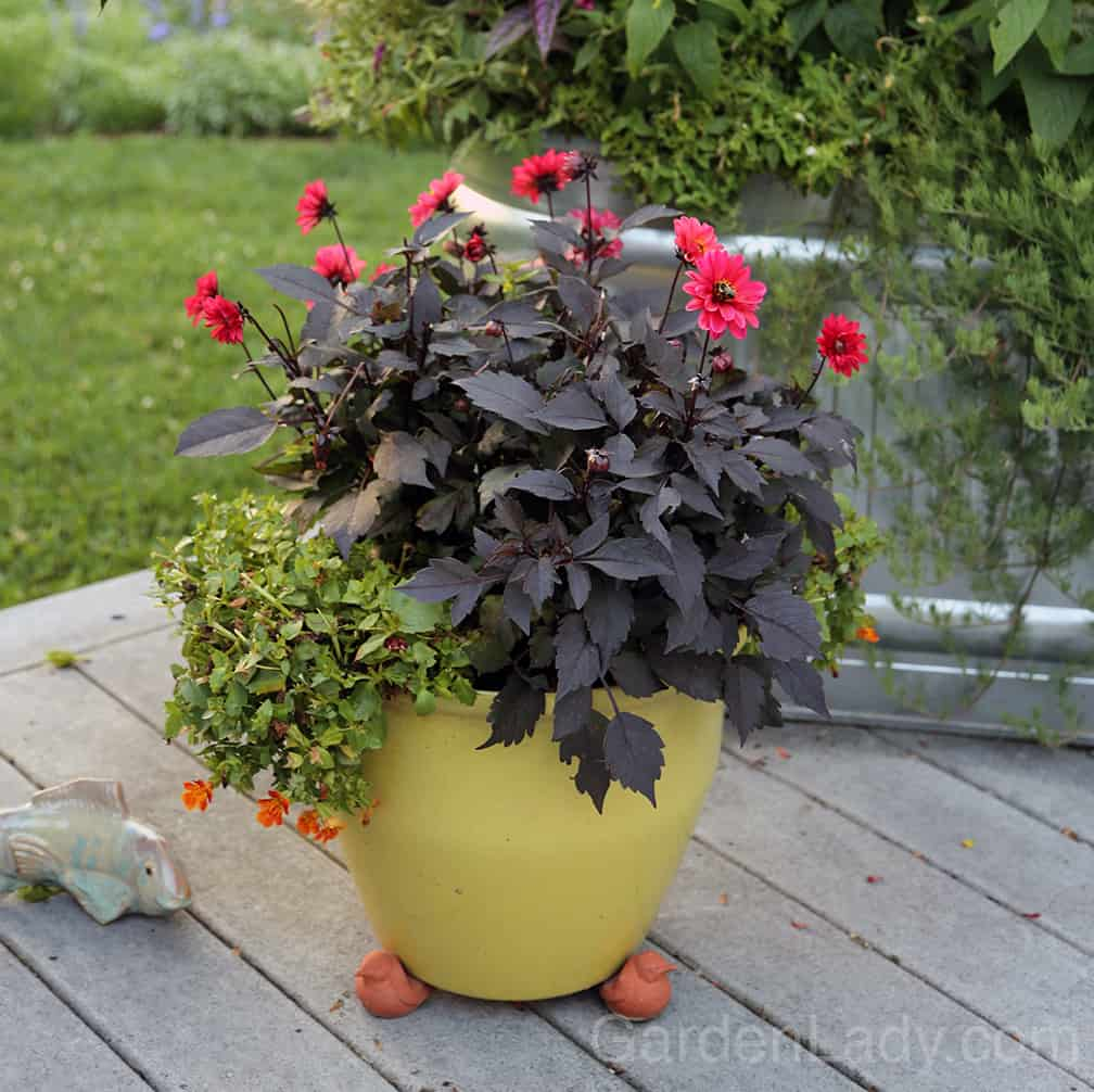 """Here is how the pot looked after I removed the fading flowers on the dahlia and clipped about 2"""" off the top of the torenia. Neater, cleaner, and ready to produce more flowers."""