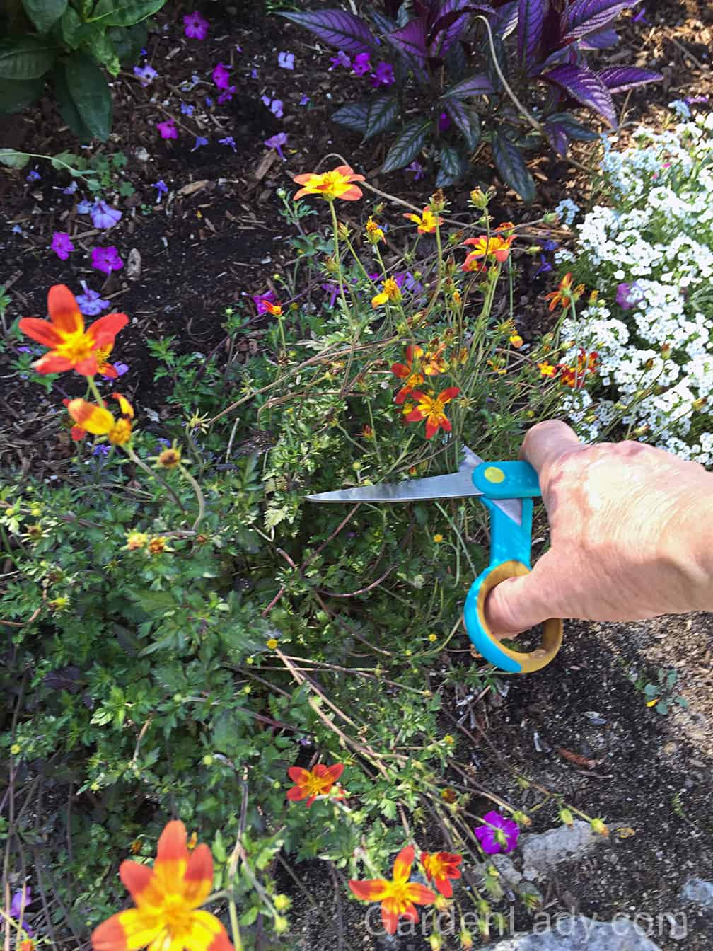 Even plants that don't require deadheading, like this Bidens Campfire FIreburst, flower better for the rest of the summer if they are given a haircut to cut off spent blooms. This plant slowed its flowering in our hot, dry July weather so a trim, and a good soaking, will help it to rebound.