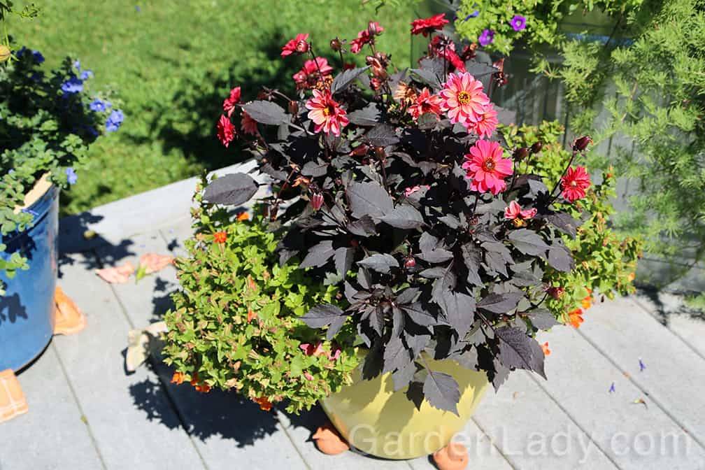 This container was planted with a dark-foliage dahlia and some orange Torenia plants in early June. In order to keep the dahlia flowering, and to stimulate new booms on the torenia, deadheading is needed.