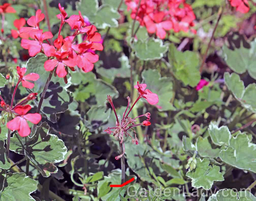 Cut off the stems (see red line) as well as the old flowers on geraniums and daylilies.