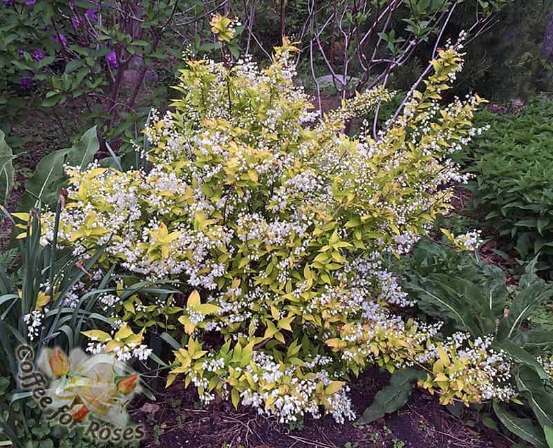 I Love Deutzia gracilis Chardonnay Pearls