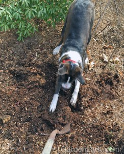"""When I started to dig the holes the puppy came over to """"help."""" It was if he was saying """"Digging? I'm GREAT at digging!"""""""