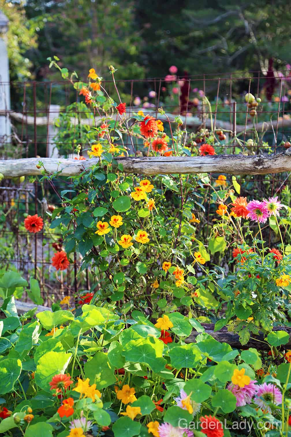 Love the loose, country look? Plant it! Dahlias and nasturtiums are two of my must-have flowers. #EasyToGrow