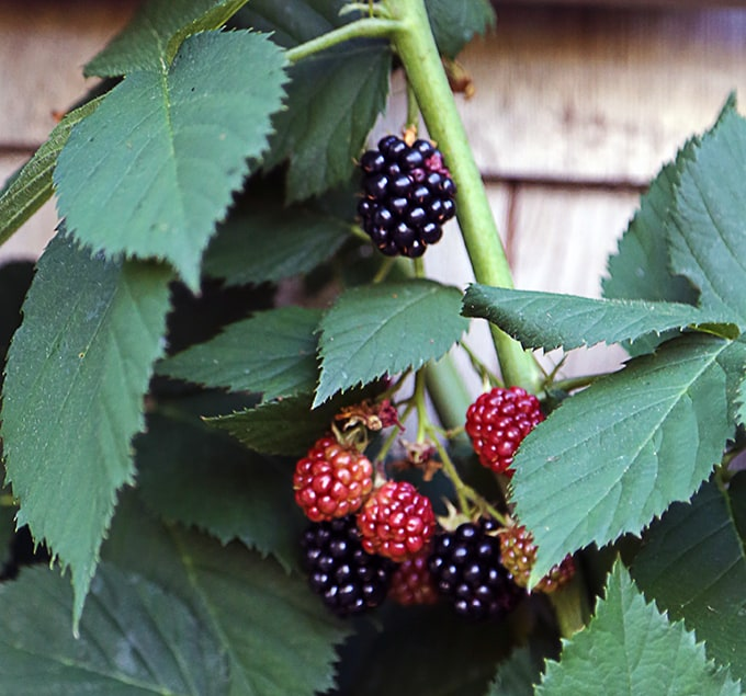 A Thornless Blackberry For Trellises, Arbors and Buildings