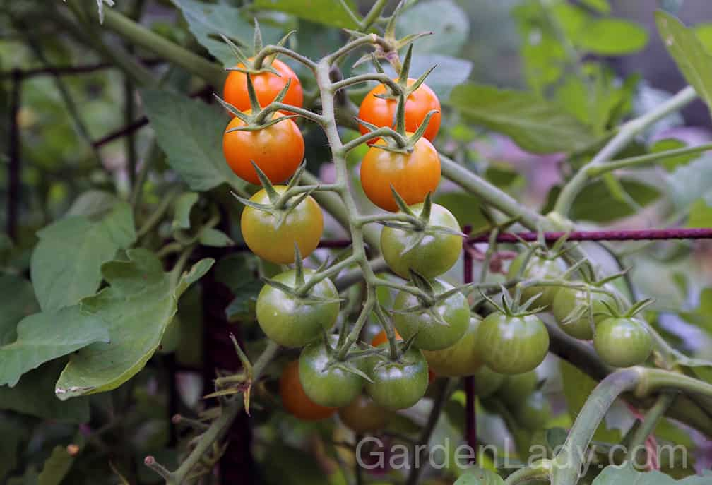 There are some tomatoes that aren't as prone to early blight, of course. We've found that Sungold cherry tomatoes aren't as prone to the fungus, and Mountain Magic are the most early-blight resistant plants sold.