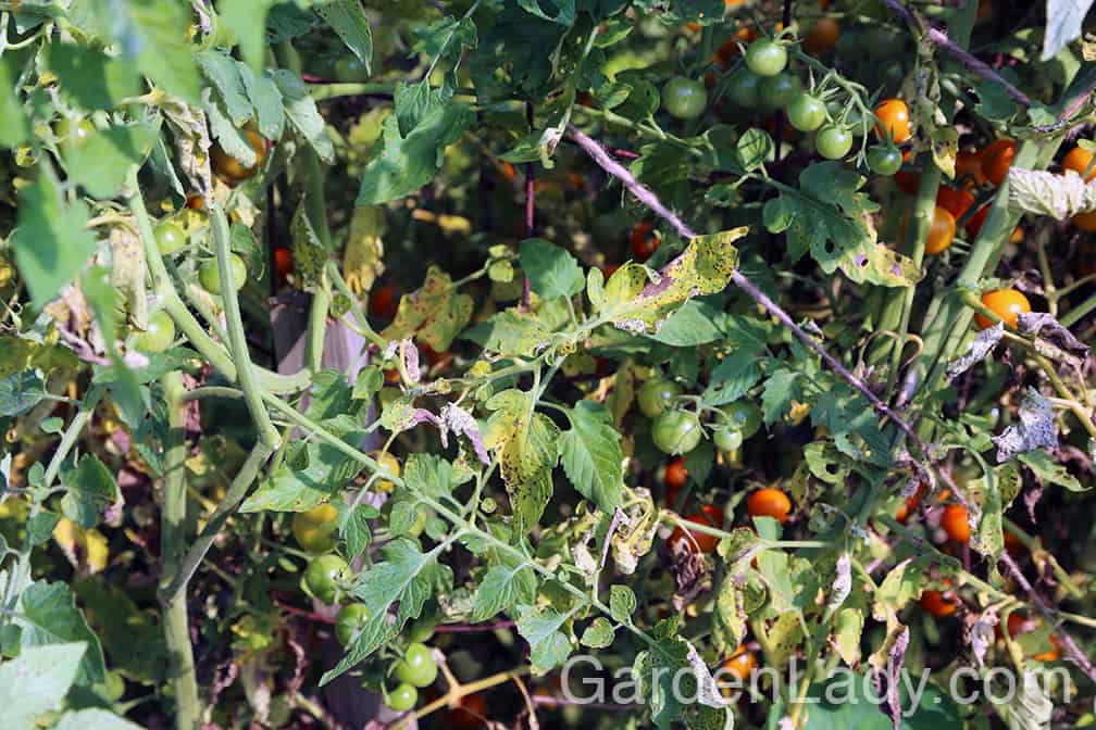 This is how early blight looks on a tomato plant. The lower leaves turn yellow and show black spots. This moves up the plants from bottom to top.