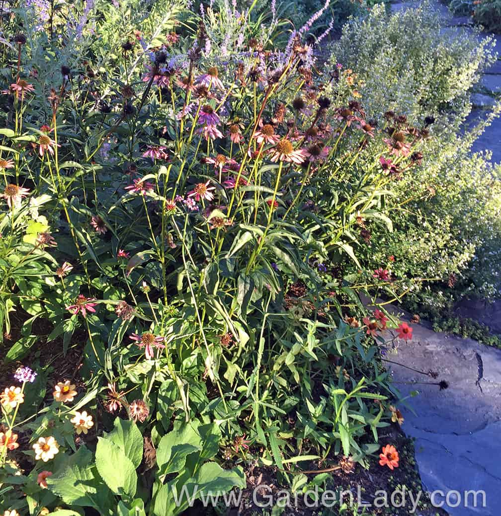 The other variety of Echinacea I have in this front garden is 'Evan Saul' - aka Sundown. I love this in July when the flowers are a coral color, but it's less attractive as the blooms fade to pink. This plant is also flopping by early September, and it too will get cut back this week. Yes, I will plant some ornamental kale here to fill the garden through the rest of the fall. But often I have to stake these coneflowers as early as August, so it's not a very long lasting, maintenance free variety.