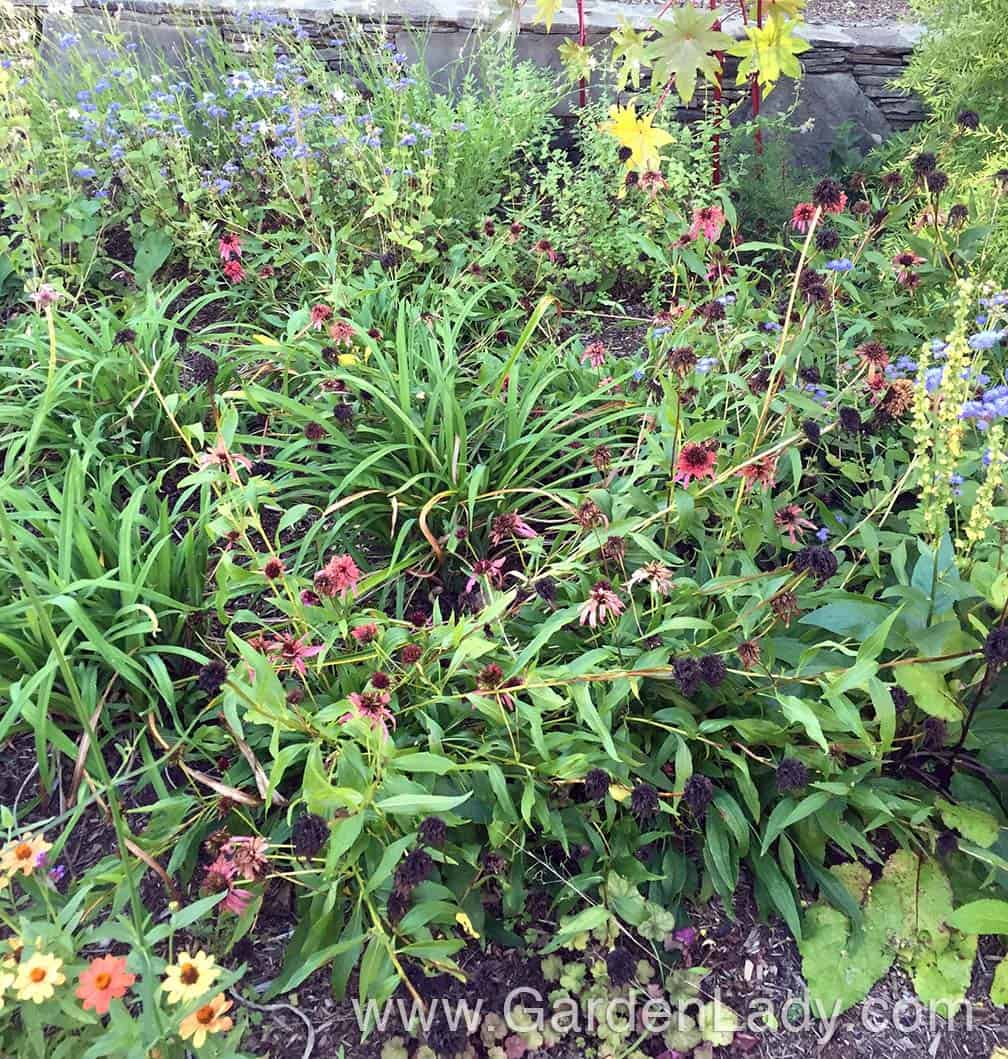 Fast forward to mid-September. My 'Guava Ice' Echinacea is finished and has flopped. I will cut these back now, leaving only the base foliage. That will create a bare area in the garden for the rest of the fall.