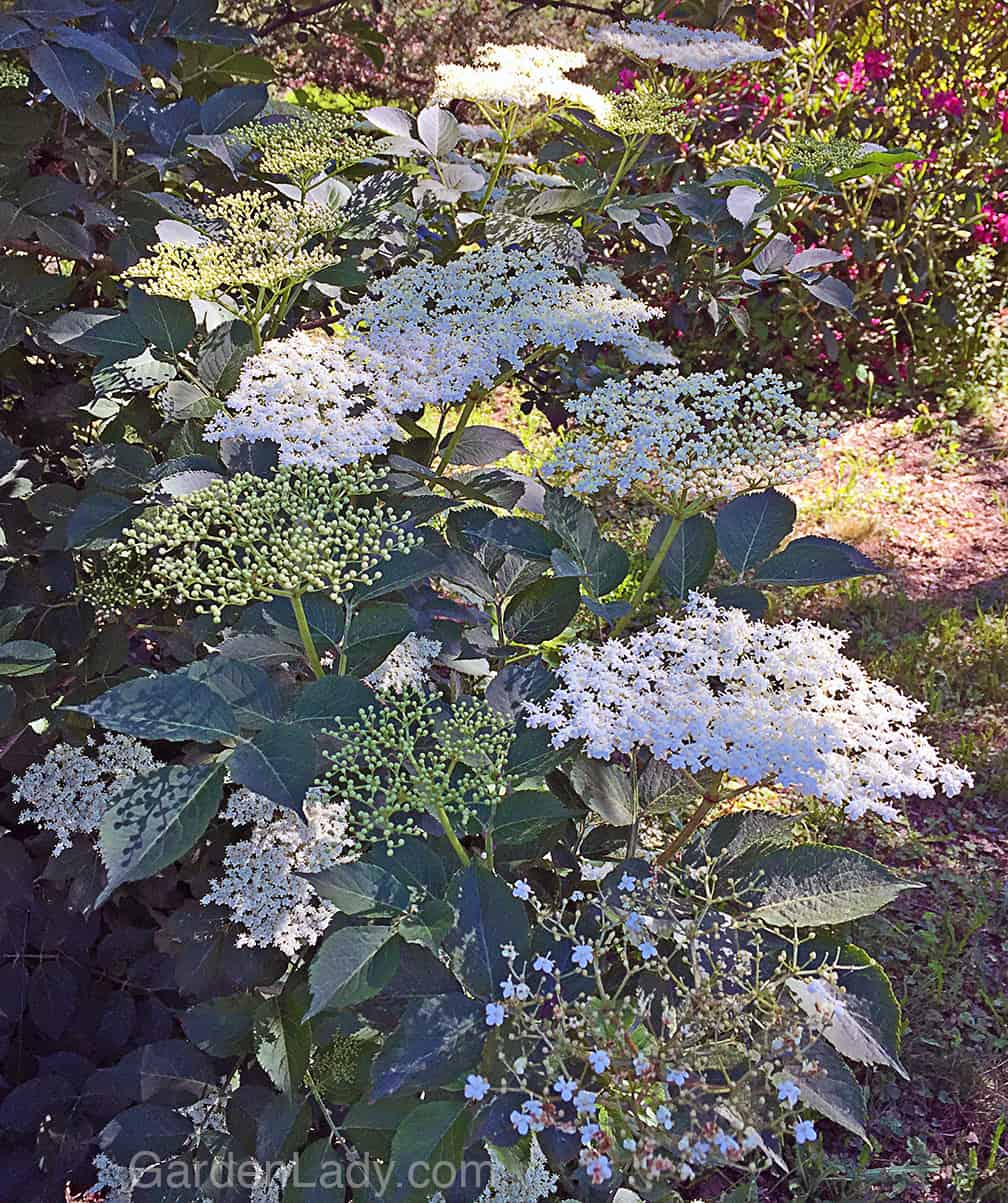 This is how the Sambucus nigra flowers look in June. This is the variety called Samdal. This variety grows canes one year that bear the next. So after this fall I'll cut much of this shrub to the ground.
