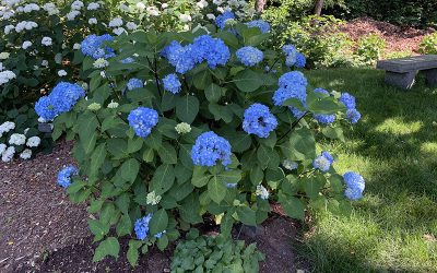 How To Grow Blue Hydrangeas
