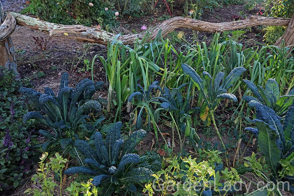 There are many leeks and Tuscan kale plants that will be producing well into January. Leeks can be harvested one at a time and if the lower, older leaves are cut off of the kale plants they will continue to grow and make more into the winter months.