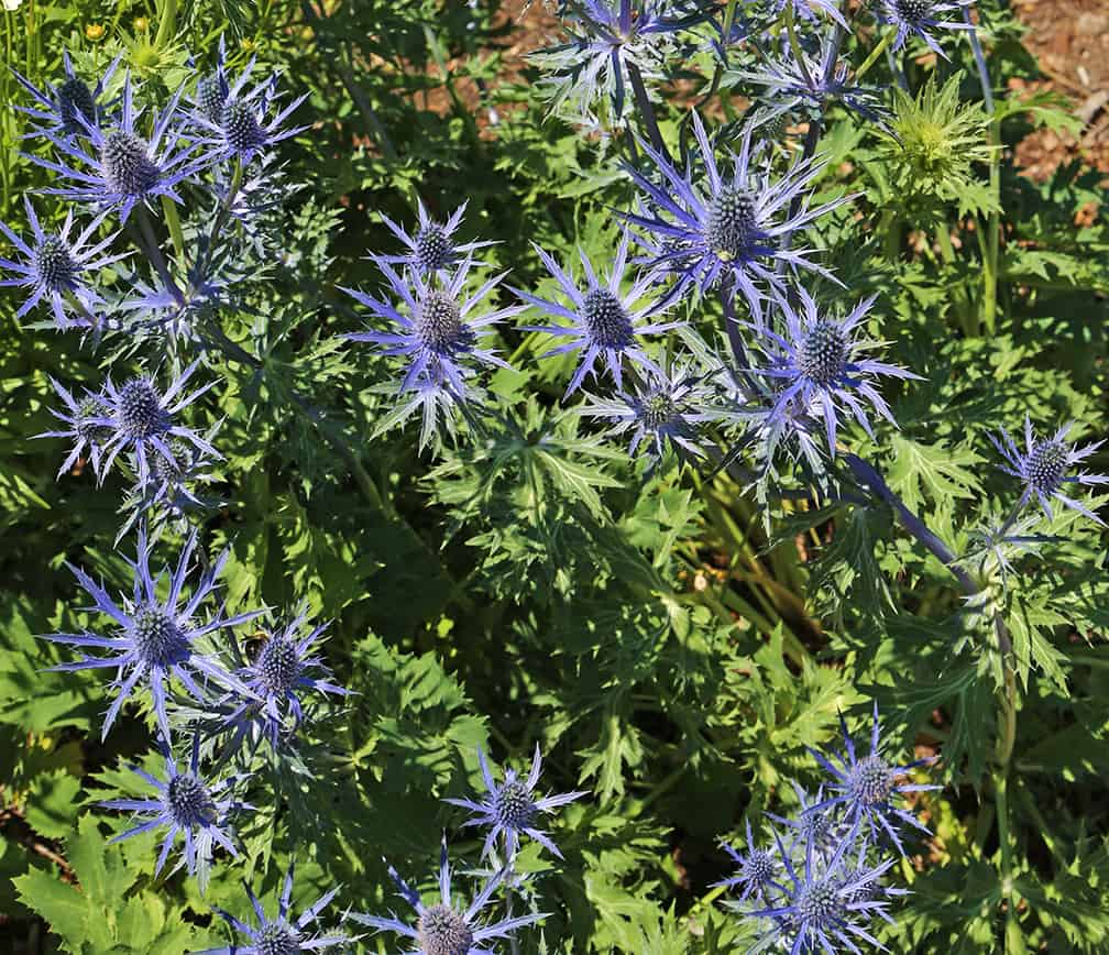 It's the spiky, thistle-like flowers that are so wonderful in this sea holly.