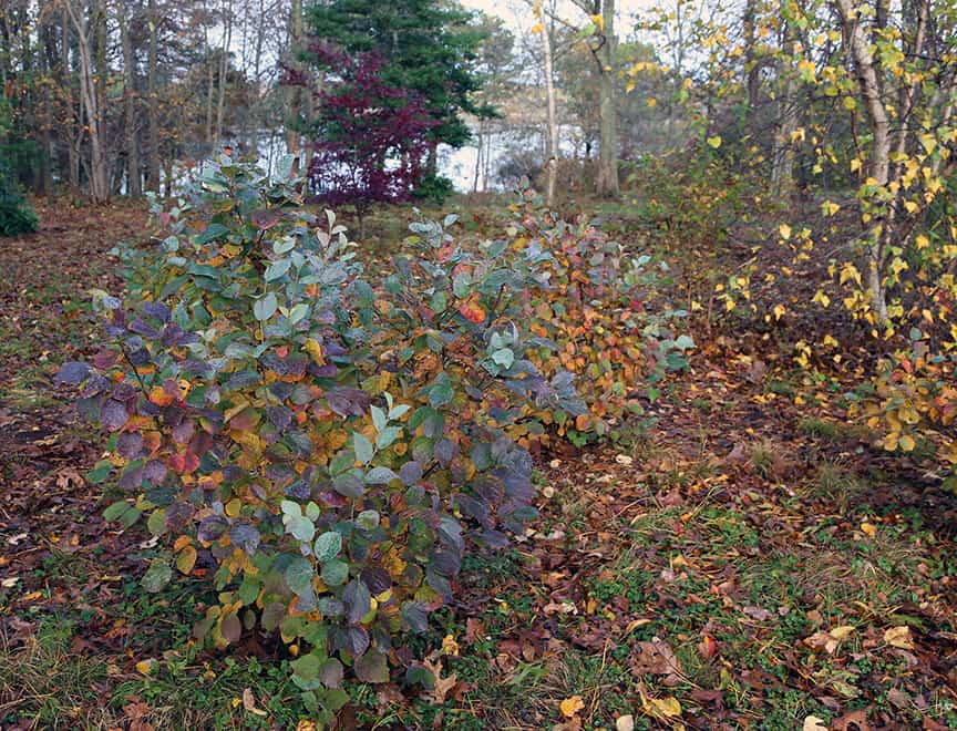 Blue Shadow Fothergilla Leaves Turn A Rich Mix Of Red Yellow And Purple In The Fall This Part Our Yard Becomes Carpeted With Variety