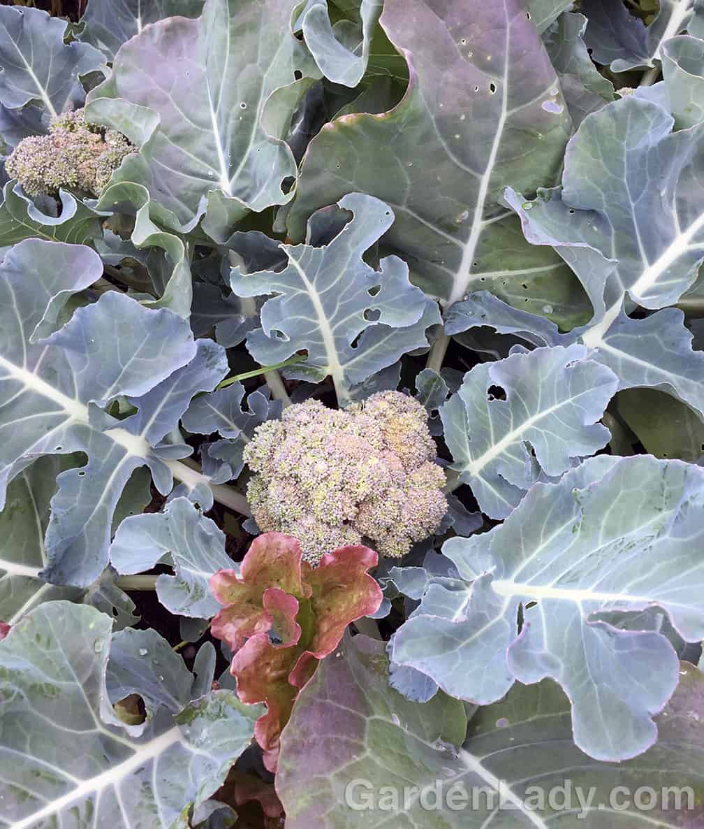 Here is a typical home-grown broccoli head. (The bronze leaf peeking up below it is a random lettuce leaf.)  This broccoli is ready to harvest.