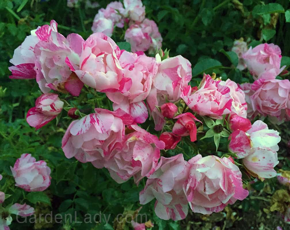 Gardenlady i love flower carpet pink splash rose dont you love these tri color flowers white pale pink and mightylinksfo Image collections