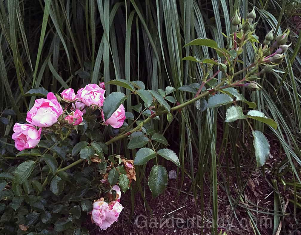 This is exactly what this rose does. As the older flowers are fading, it's making new buds!