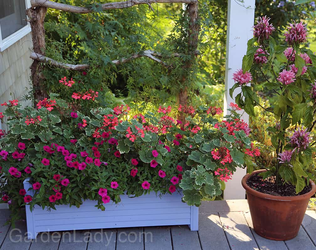 And what would a container garden be without some flower power?  This year I planted Evka cascading geraniums (3) with 2 Supertunia Vista Fuchsia petunias. On the trellis are Eccremocarpus scaber 'Pink Lemonade' and a cardinal climber  Ipomoea x multifida to attract more hummingbirds.