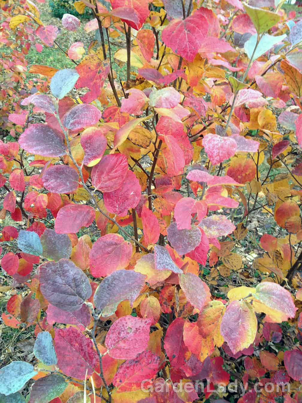 Even as we feel sorry that the days grow shorter, Fothergilla Blue Shadow has the ability to cheer us up.