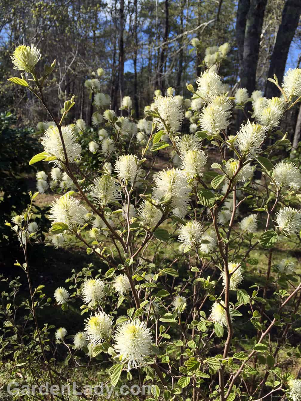 For several weeks in the early spring Fothergilla flowers are also cheerful.