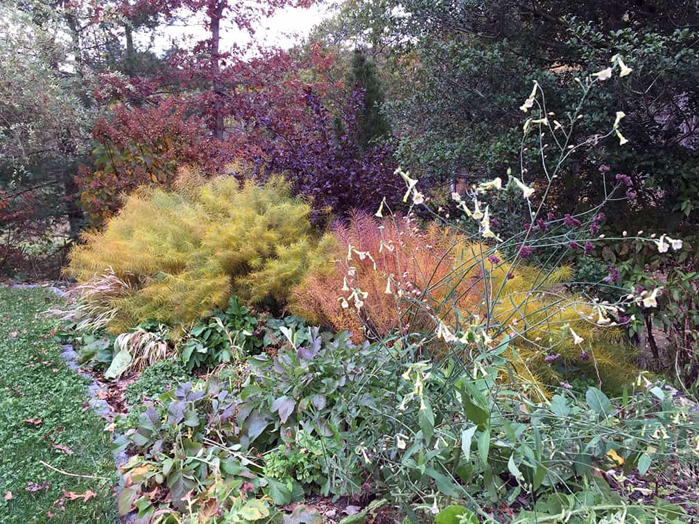 In 2015 my lakeside perennial bed looked like this on October 27th. The Amsonia hubrichtii was in full, yellow, fall color and most of the annuals had already been cleared from the beds because they had died in earlier frosts.