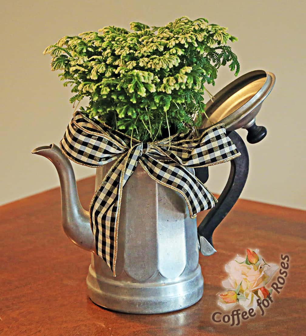 And finally, my personal favorite, a frosty fern is popped into a vintage aluminum coffee pot and ornamented with a classic black and white check ribbon.