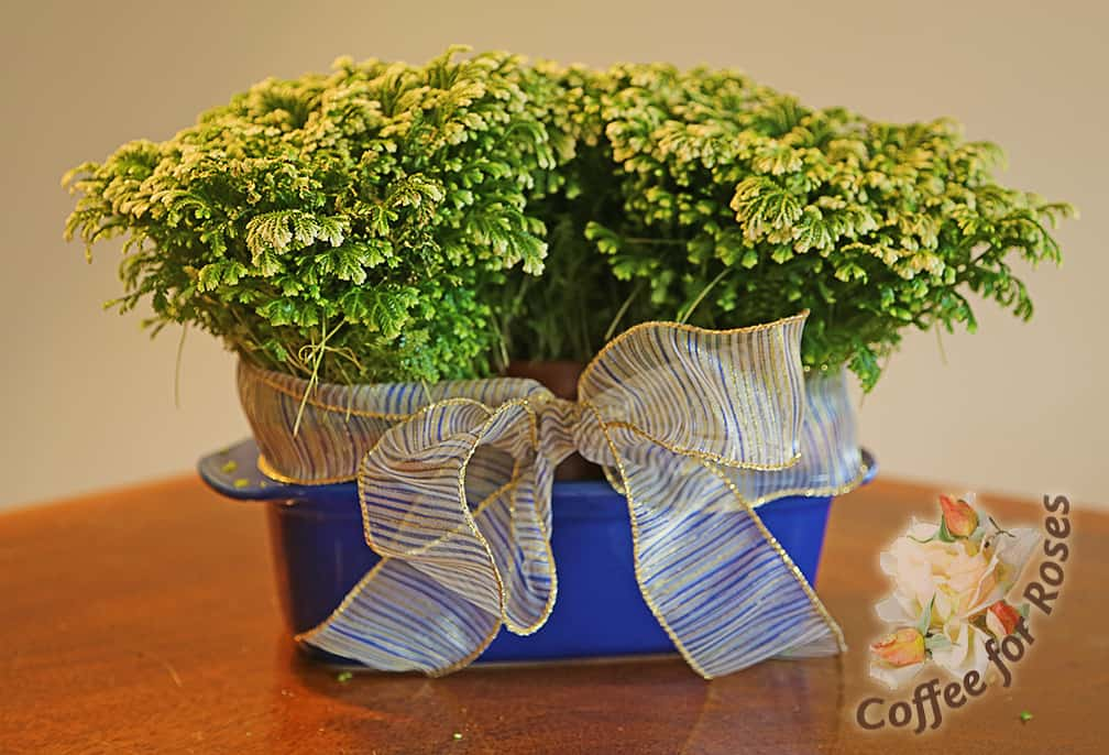 Place two plants in something from the kitchen. Here I've used a colorful bread pan and ribbon to hold two plants.