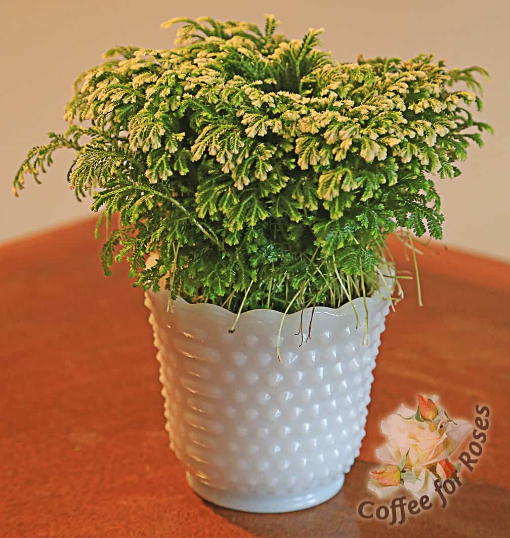 """Pop the plant into some vintage milk glass or other container that's made for a 4"""" pot."""