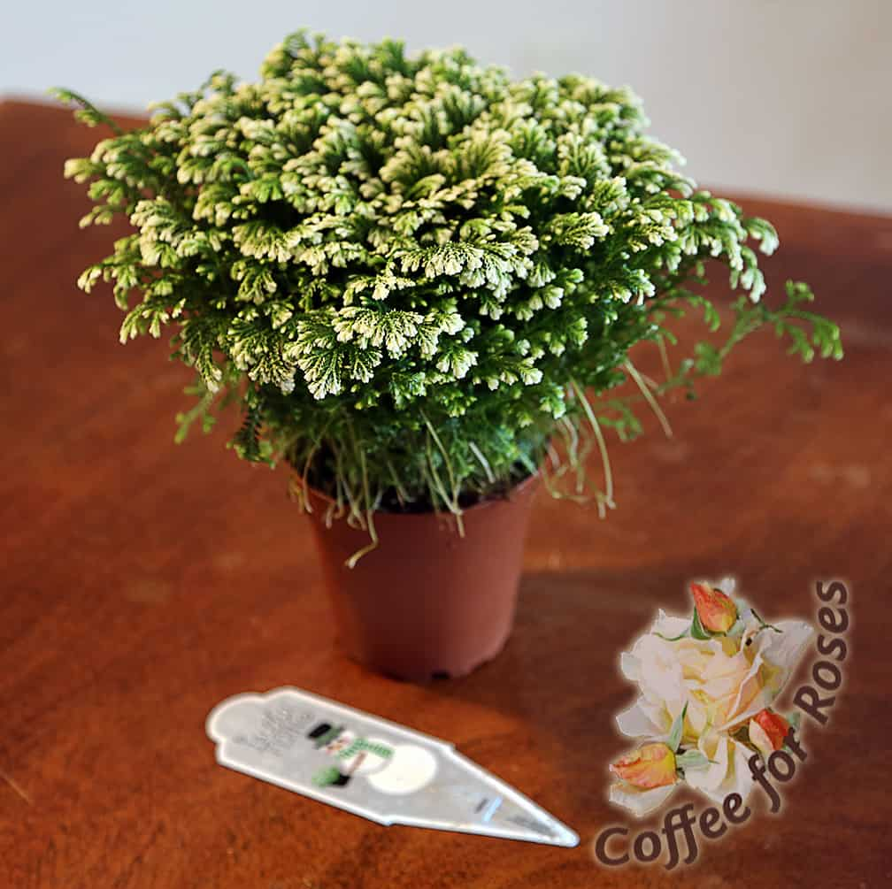 Here is how your plant will look when it comes from the garden center.