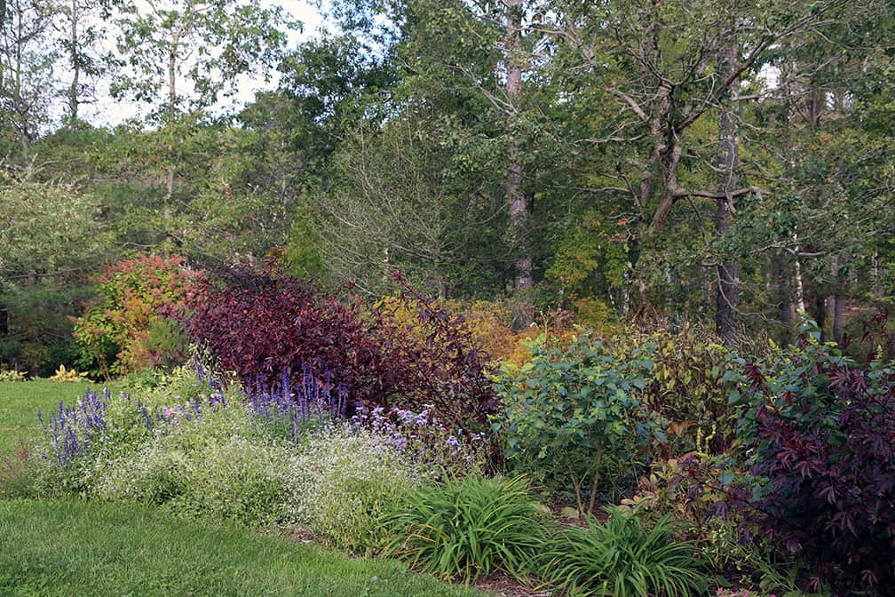 In 2016 the annuals are still growing well in this same bed and the Amsonia hasn't begin to turn colors.
