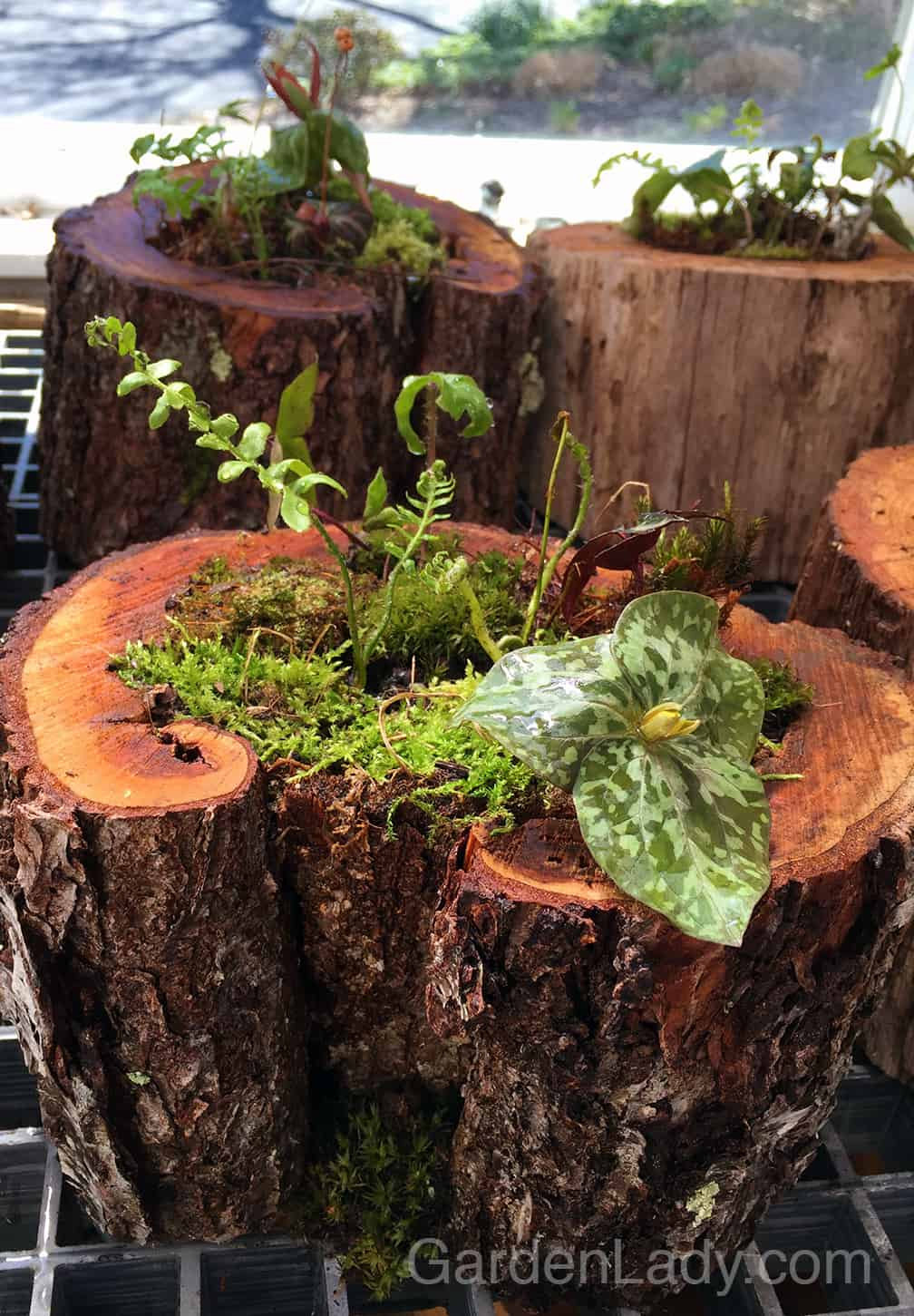 My favorite containers were the cherry logs that had holes and cavities in them. I placed all of them in the solar heated shed to grow on for a day or two before the event.