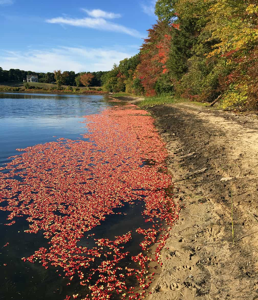 """There aren't many places in this world where you can see cranberries floating on a pond in the fall, but Cape Cod is one of them. This scene has a couple of lessons in garden design. The first is the importance of the repetition of color. The currently fashionable term for this is """"color echoing."""" The trees along the pond repeat the red color of the cranberries and this is pleasing. In the garden we can echo colors with flowers, foliage, or even garden furniture. Secondly, notice how the cranberries aren't all just one shade of red. There are several shades of red as well as some orange and yellows there. That makes this area of color much richer. In gardens the inclusion of a range of hues in the same color area is also exciting. Some plants do this on their own. An example is the Profusion Zinnias whose flowers fade as they age so that soon you have three shades of a color on the same plant. But garden designers can also think about combining two plants in a group that have foliage or flowers in the same color range. A group of plants doesn't have to be made up of only one variety."""