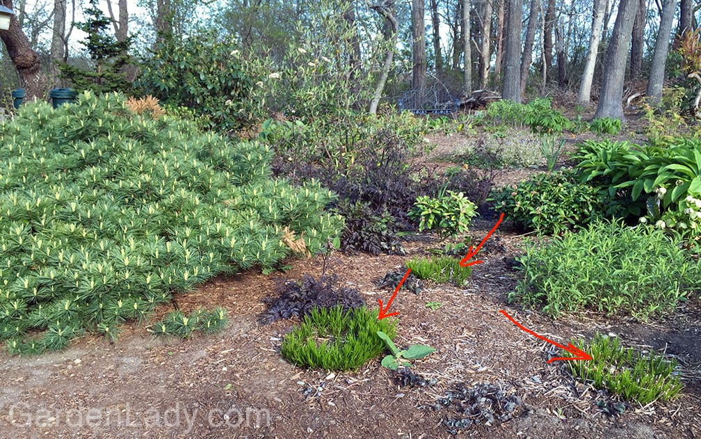 The arrows point to clumps of Vernonia lettermannii 'Iron Butterfly'. This is a great native perennial that looks grass-like early in the season and then flowers purple in the fall. Each of these clumps looks small and reasonably placed now, but once they grow to their 18 to 20 inch height, and 24 inch width, they will prove to be crowded in this area. Last year I noticed that these should be transplanted. It's tempting in the spring to ignore such perennials because in May they don't look like they are crowded at all....but that would be ignoring what we've seen in previous seasons. Time to take action and move these Vernonia to a better location.