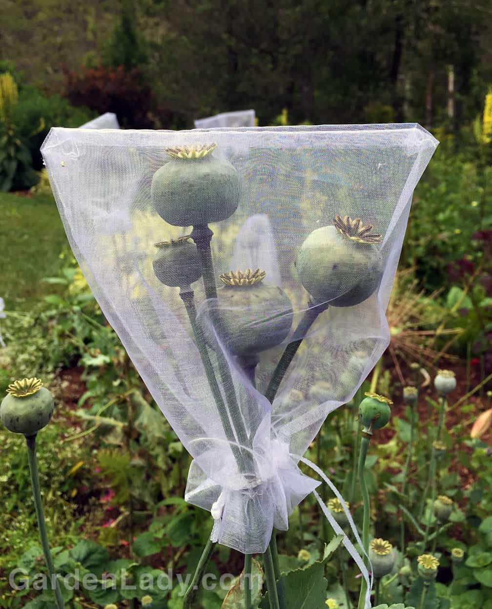 I used small gift bags, available from craft stores and places that sell wedding supplies, to protect selected pods from Chip and Dale. They are light weight, let in the sun and air, and have a drawstring for quick application and closure.