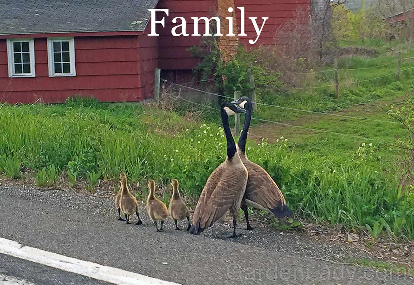 geese_family_fornari