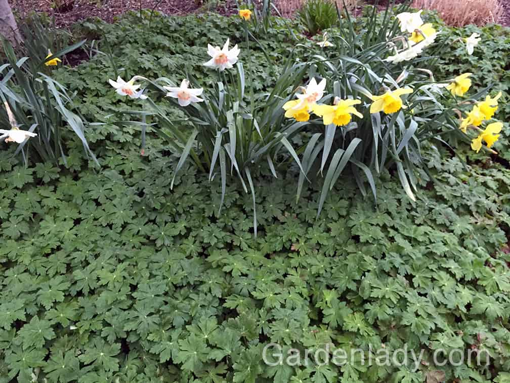 This perennial plays well with daffodils too!