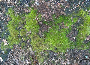 This moss thrives on a very compact slope where few other plants will grow.