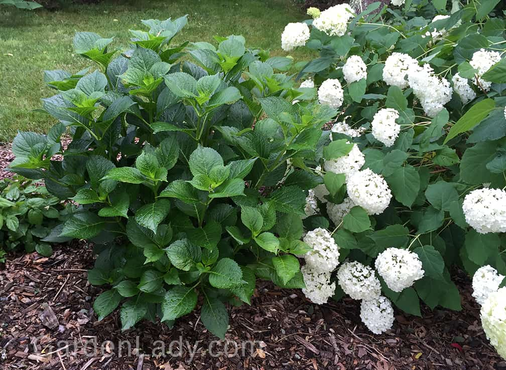 Many people have Hydrangeas that look like this one: no flowers. This is a Glowing Embers and it has always been pretty fragile when it comes to cold temperatures. Next to it is the white-flowering Annabelle, which blooms on new wood.