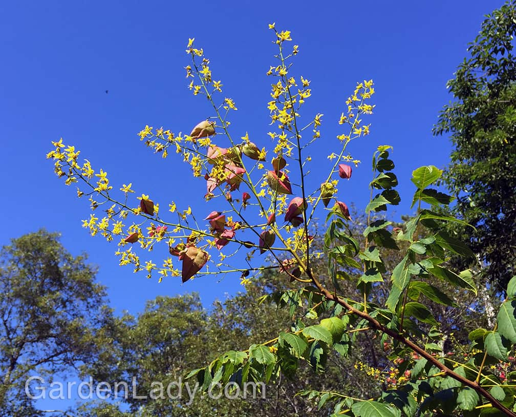 First are the yellow flowers and even as those begin to fade the seed pods form. A great combo against the blue early-August sky.