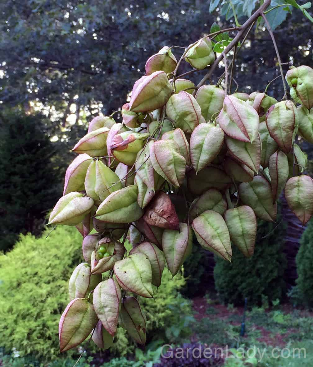 The seed pods are so much fun. They start out green with a tinge of purple, and later turn tan. LOVE them.