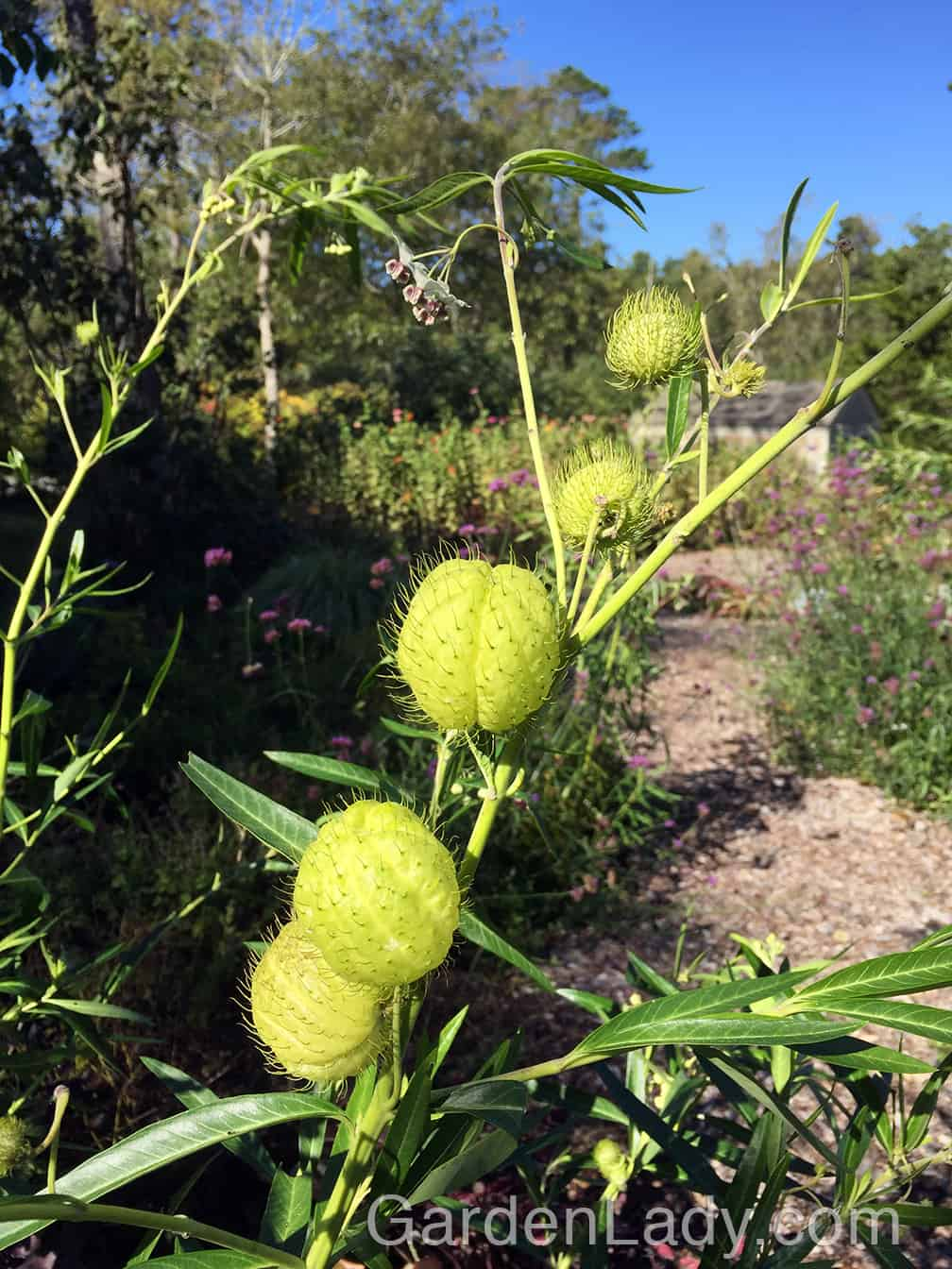 What would we do without plants that make us laugh? As guests arrive, give them a cocktail or a beer and then lead them into the garden where they can see that you're growing hairy balls. YES, you are truly growing hairy balls and whether your company is 6 or 96, they will love this plant. Call it Gomphocarpus physocarpus, balloon plant, or hairy balls, this tall plant makes everyone happy.