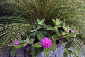 The heaviness of the leaves and flowers contrast beautifully with fine grasses. This plant would also be stunning with anything that has purple foliage.