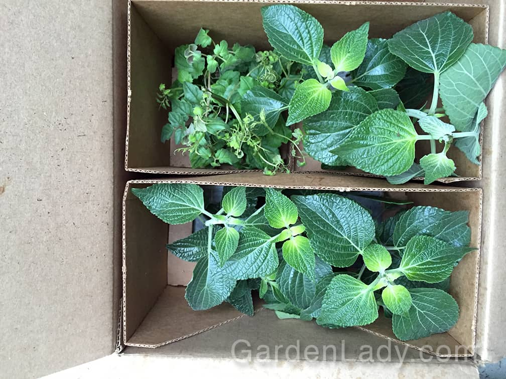 Here is one end of the box that arrived. The plants were in separate cardboard cells, two per area. These kept them from moving around but didn't squash the foliage which was, as you can see, well-developed when the plants were shipped.
