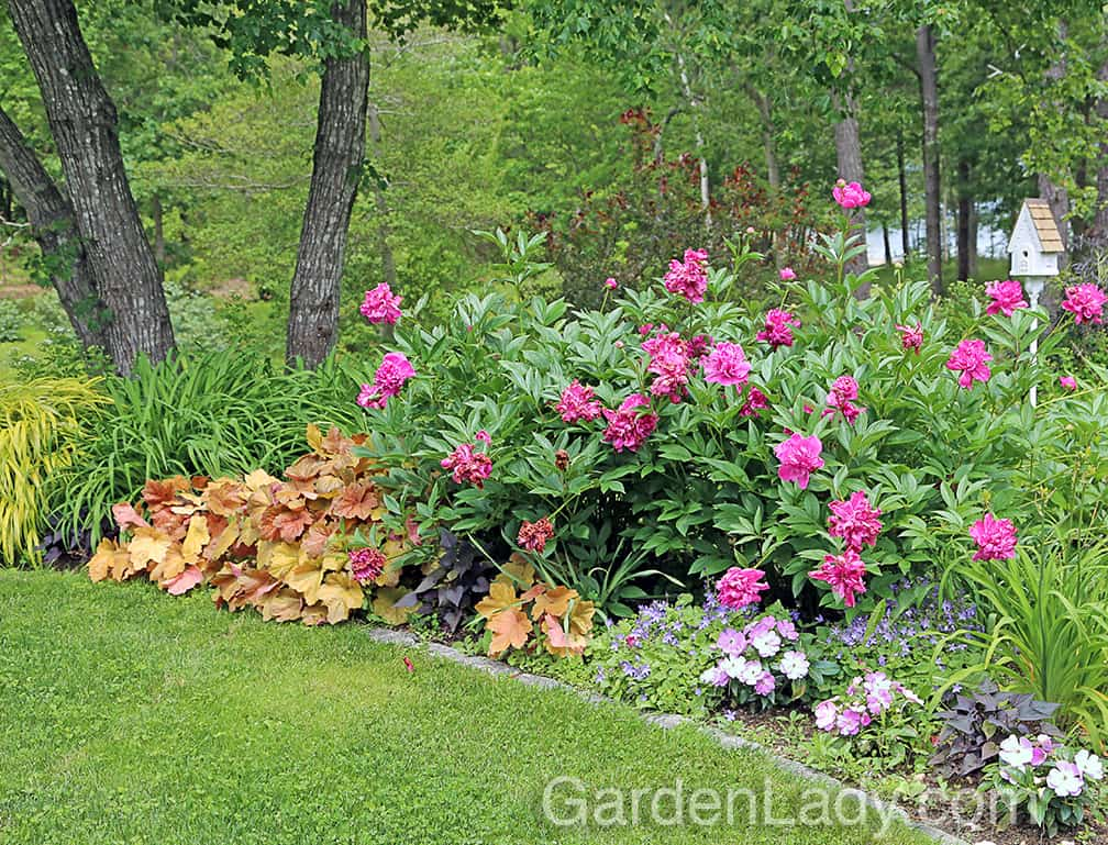 Later in June, they are a great contrast with the blooming peonies. Note that this garden gets enough sun for good peony bloom, and these Heuchera are happy, happy, happy.