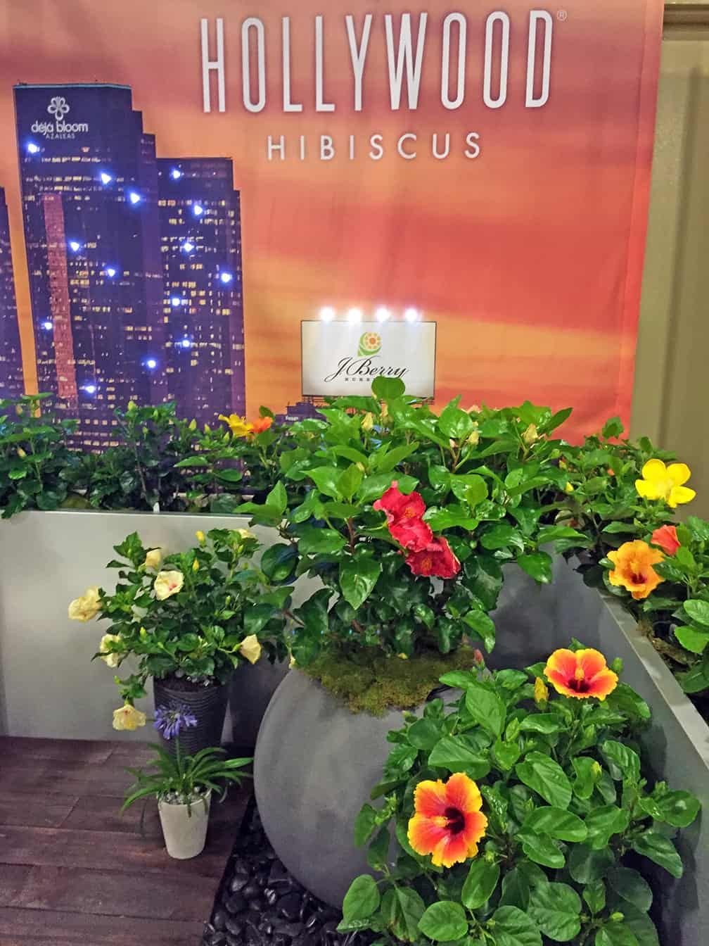 I know why they call these plants Hollywood Hibiscus...they have star quality.