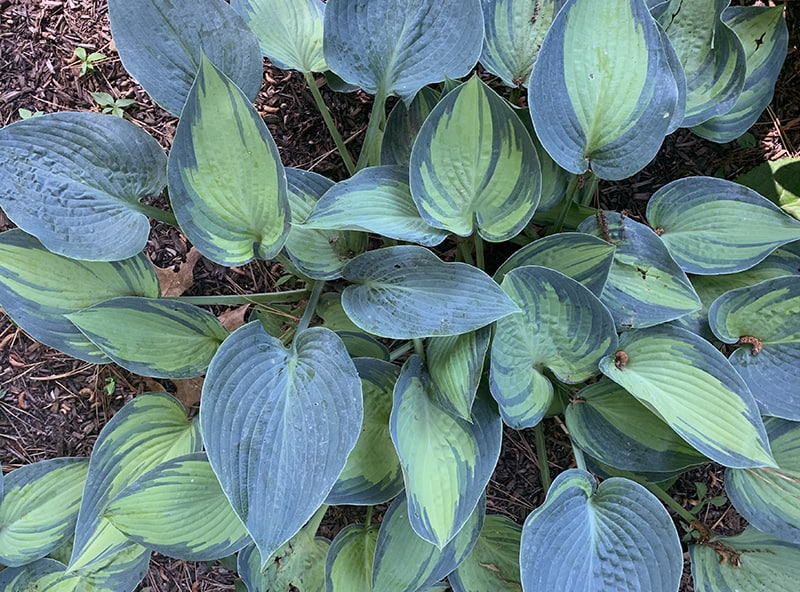 I Love Hosta 'June'