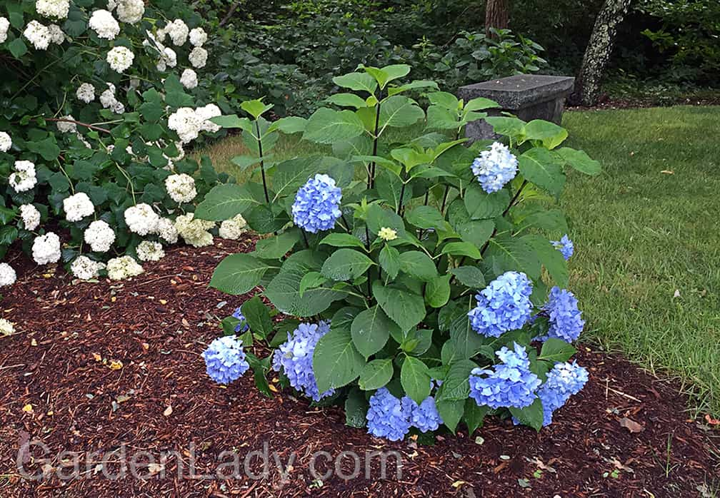 In July the blue flowers opened and graced this plant all summer long. There were two or three flowers that eventually opened on the new growth as well.