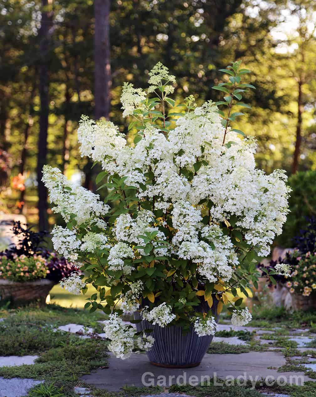 You can over-winter Hydrangea paniculata plants in pots as well. This is a Bobo, one of my favorite short paniculata varieties. These white-flowering hydrangeas bloom on new growth so you can shape them a bit in the spring if desired.