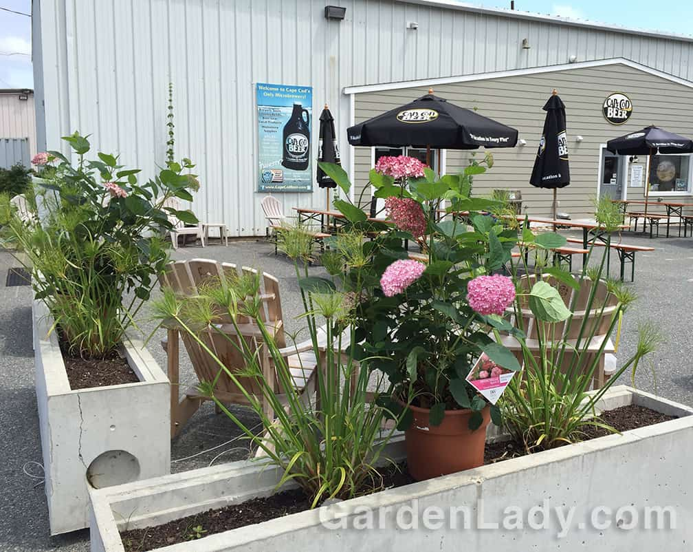 Invincibelle Spirit II captured the hearts of those who came to the Cape Cod Hydrangea Festival launch party at Cape Cod Beer. Thanks to a donation from Spring Meadow Nursery, we had several of these shrubs to give away at the end of the evening.