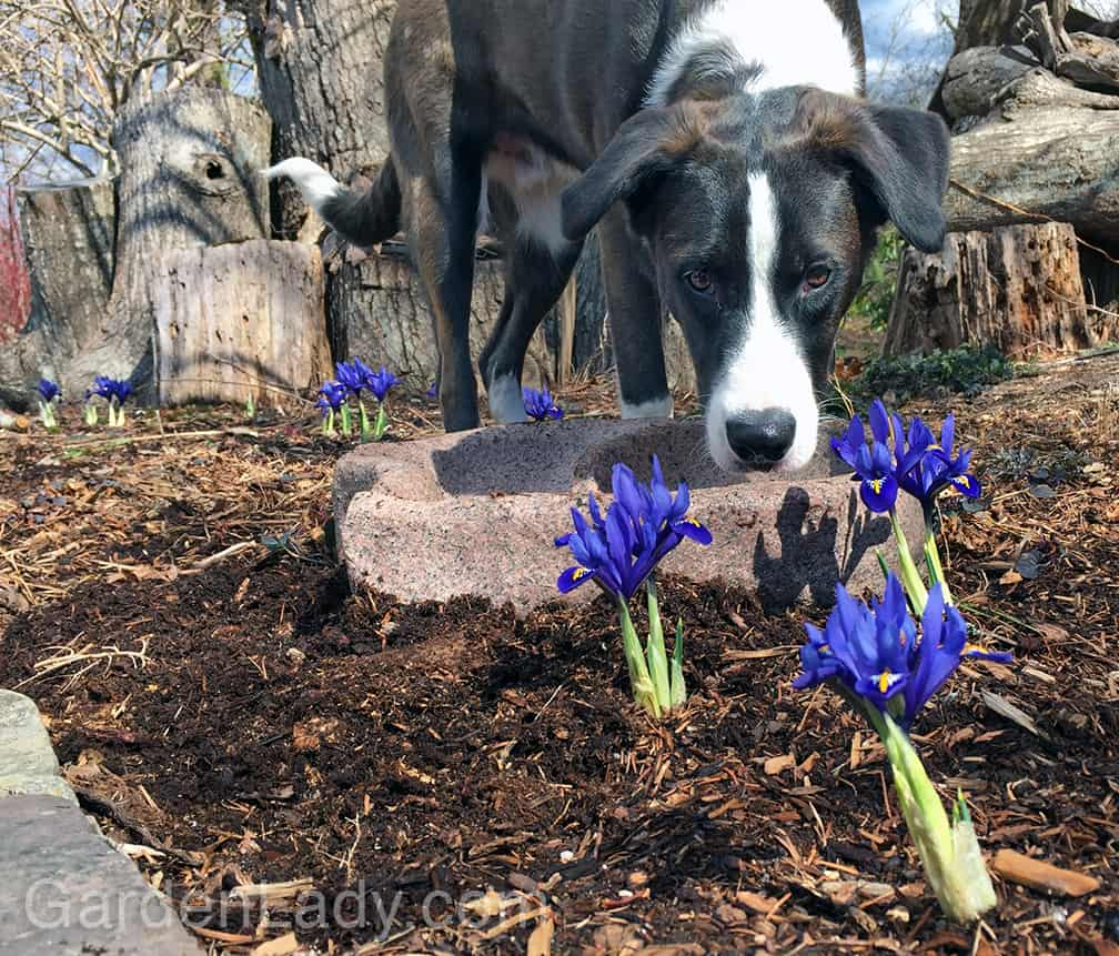 I Love Iris Reticulata